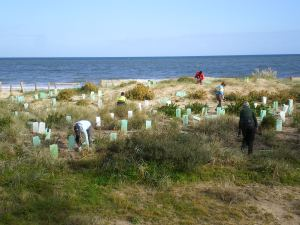 seacliff dune planting july 2014 010