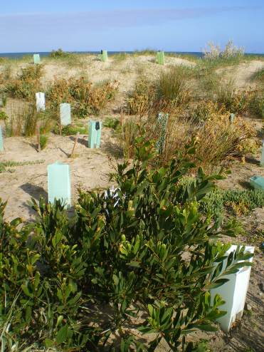 seacliff dune planting july 2014 015